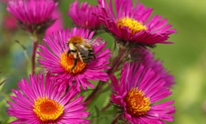 Common carder bumblebee feeding on Michaelmas daisy in Wales