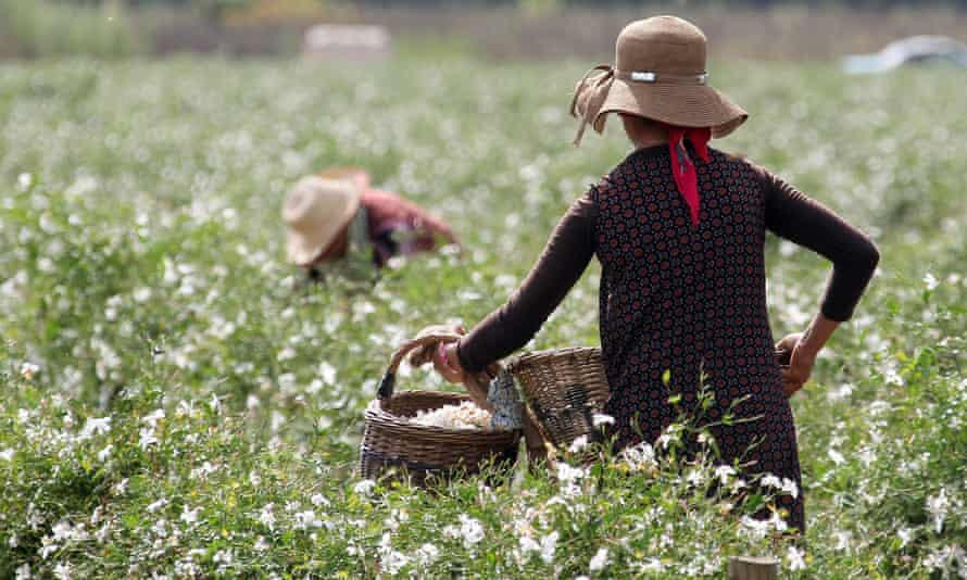 Workers harvest jasmine that will be used in Chanel No 5
