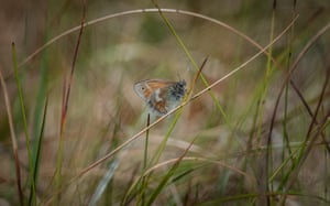 Large heath butterflies are returning to peatlands in greater Manchester 150 years after they went locally extinct.