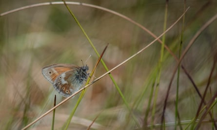 A large heath butterfly returns to the peatlands of Greater Manchester (1)