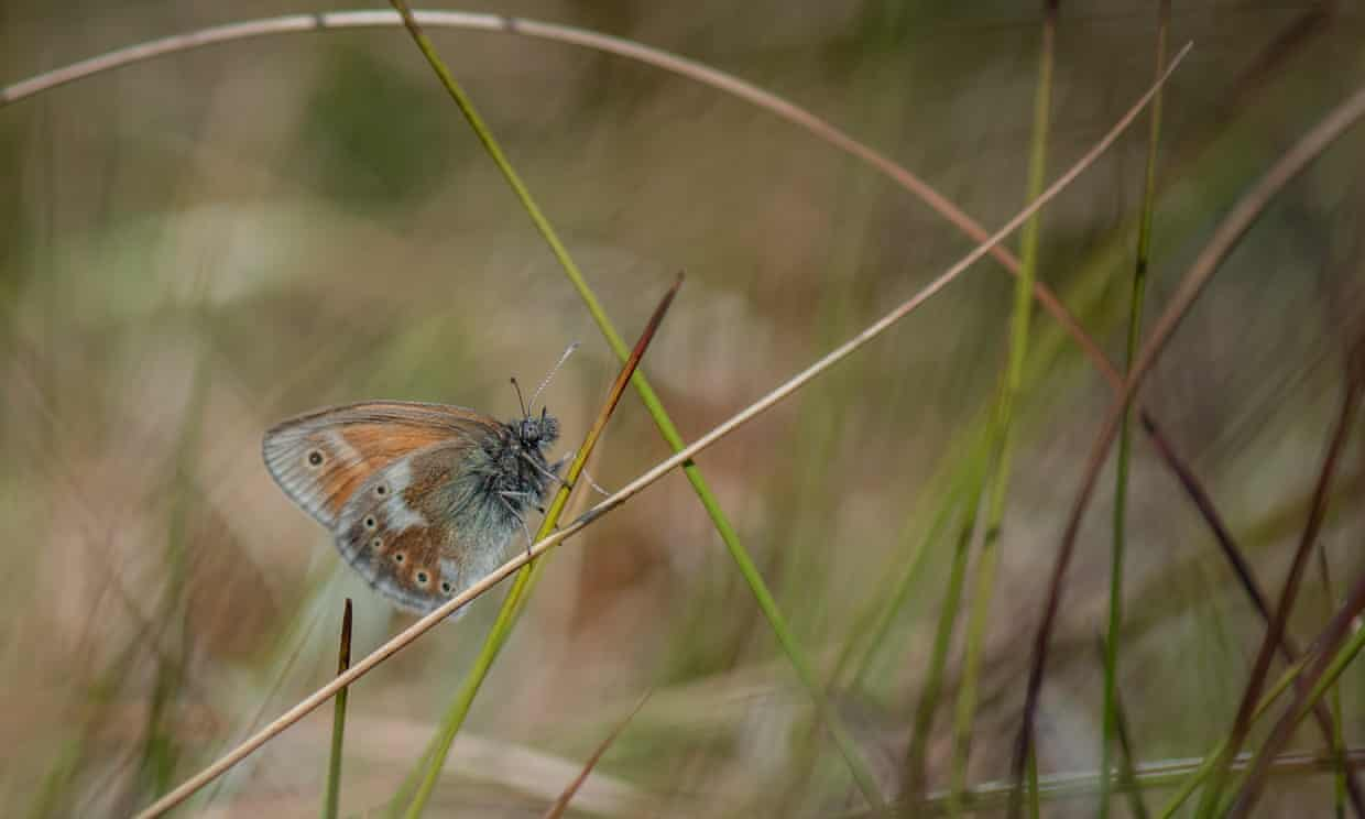 A large heath butterfly returns to the peatlands of Greater Manchester. Photograph: Courtesy Chester Zoo