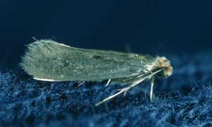 A clothes moth.