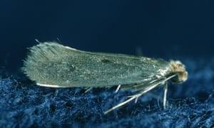 Adult case-bearing carpet moth.