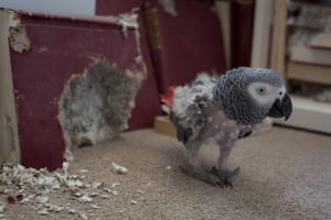 The African grey Parrot is among the most popular bird species kept as pets in Europe, the USA and the Middle East.