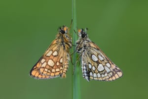 A male and female chequered skipper butterfly