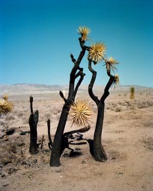 blackened joshua tree in the desert