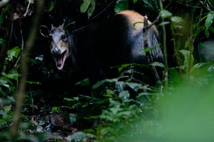 A yellow backed duiker in the rain forest at the Nouabale Ndoki National Park, Republic of Congo.