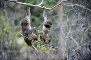 Two macaques play in a tree on Shuangta mountain in Chengde City, north China's Hebei province