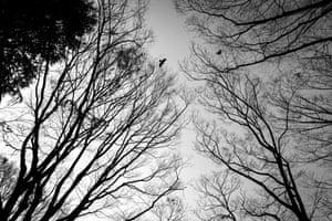 Crows soar over Tokyo