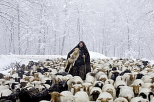 A shepherd returns his herd from grassland in the Talesh mountain area