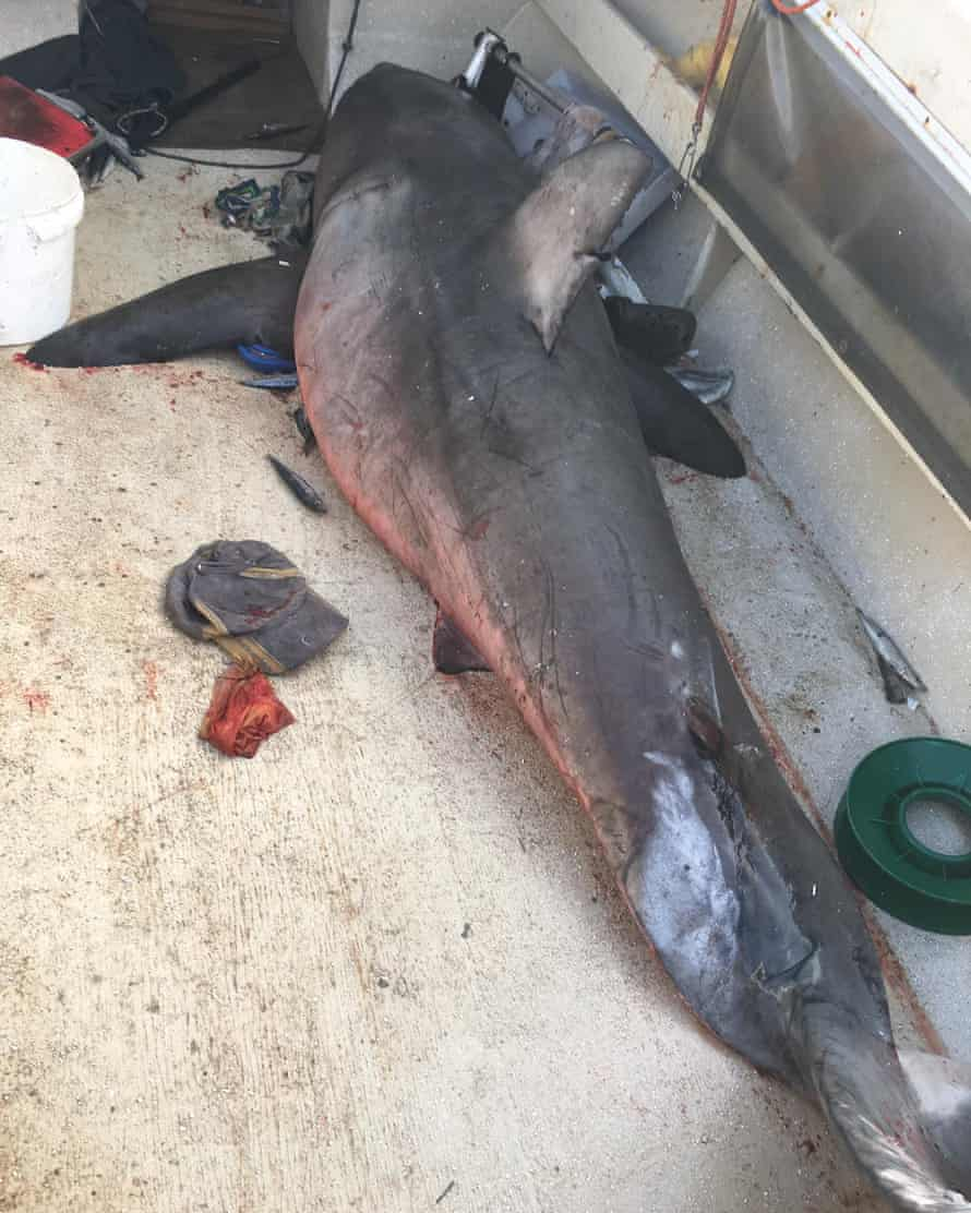 The great white shark on the deck of Selwood's boat.