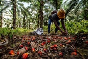 Bacho picks up oil palm fruit that have fallen after harvesting.