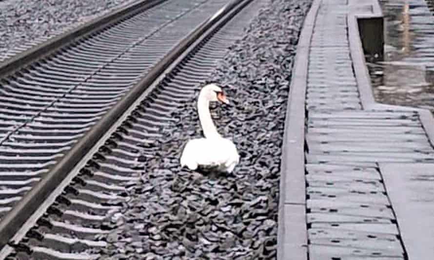 The swan halted traffic on the line between Kassel and Göttingen.
