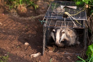 A badger is released after TB vaccination