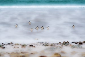 A small group of gentoo penguins on Saunders Island in the Falklands as they struggled against the wind and driving sand to return to their rookery.