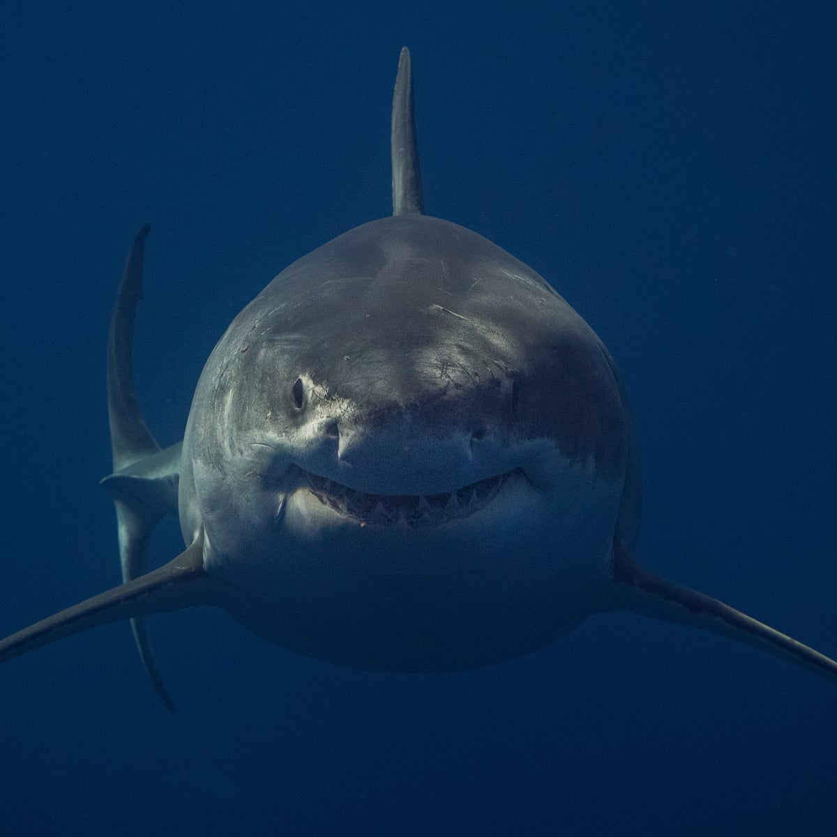 Swim On Sharks Nothing To See Here Could Fake Kelp Prevent Attacks Sharks The Guardian