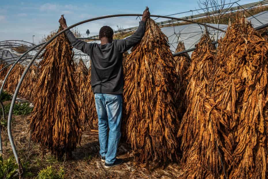 Migrants working in tobacco fields near Caserta, Italy.