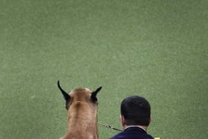 Dog, a great dane, watches other dogs as they compete with the working group