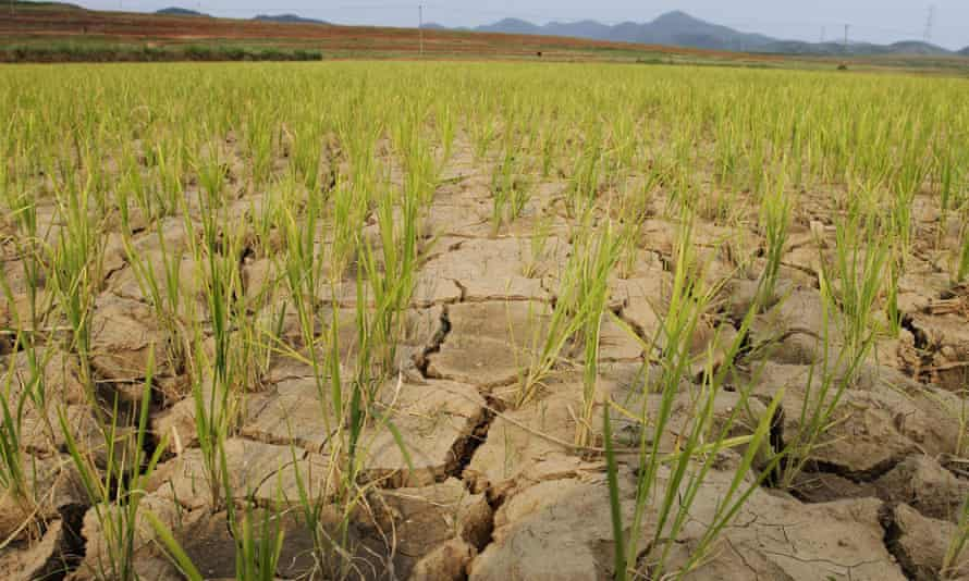 Rice plants grow through cracked earth in North Korea