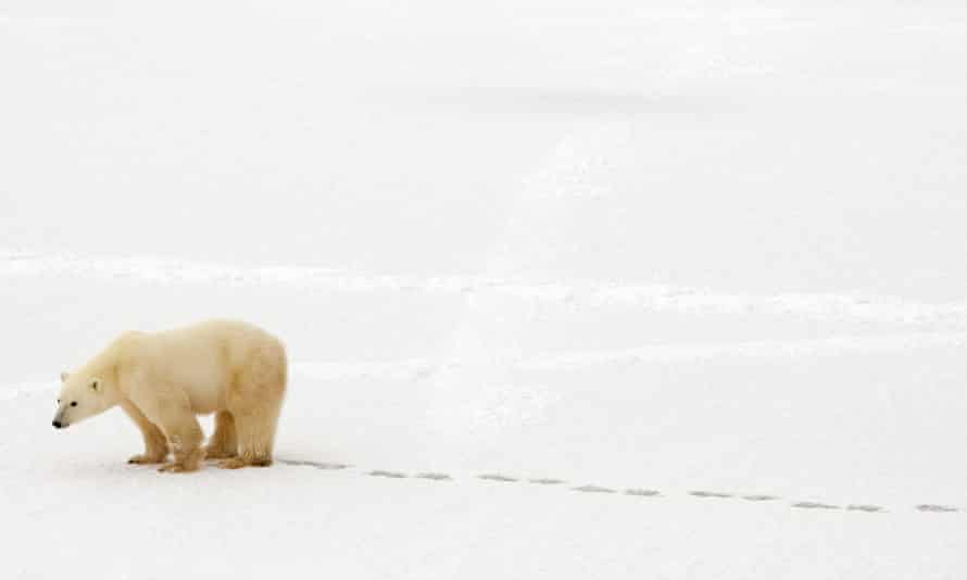 A polar bear walks in the snow near Hudson Bay outside Churchill, Mantioba, Canada. Global warming is heating the Arctic at a record pace