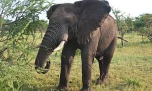 An elephant in Tanzania