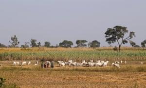 Herders graze their livestock in Nigeria's northern state of Kaduna.