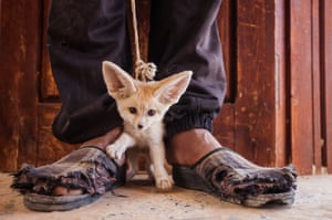 Fennec foxes are captured for the illegal pet trade. This three-month-old pup was for sale in a market in southern Tunisia