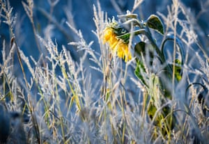 Hoarfrost sparkles on a faded sunflower on a chilly morning in Pokrent, northern Germany