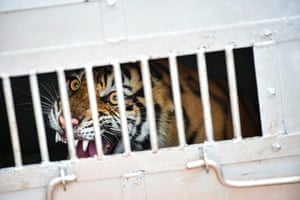 A Sumatran tiger cub inside a rescue box after it was caught near a village in Subulussalam district, Indonesia, before being relocated by a local conservation agency to Leuser ecosystem forest.