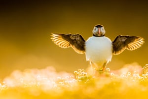 A puffin stretches its wings