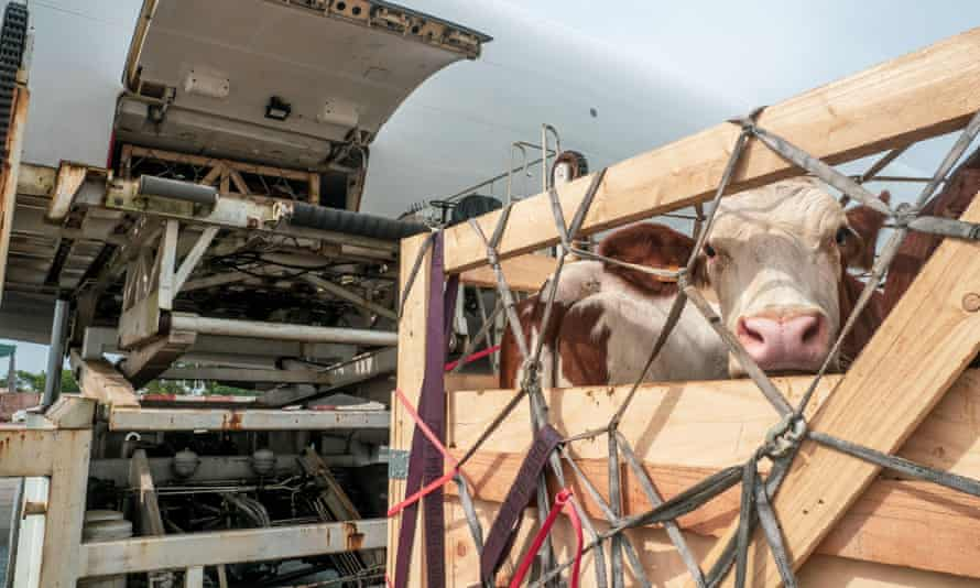 Livestock in wooden boxes being offloaded from an aircraft.