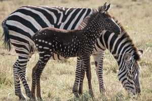 A polka-dotted zebra foal stand close to its mother at the Maasai Mara game reserve in Kenya. The foal has a condition called pseudomelanism, a rare genetic mutation in which animals display some sort of abnormality in their stripe pattern.