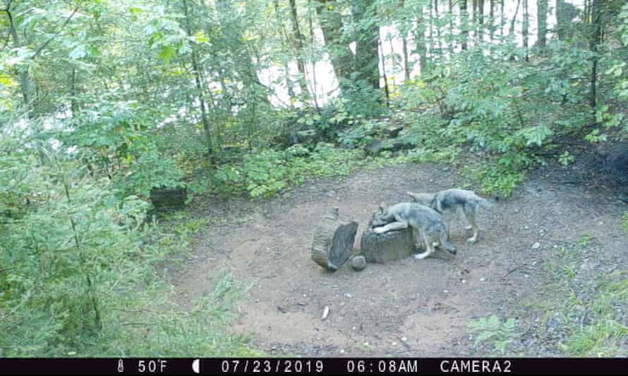 Two young wolves caught by Wolf Patrol's trail camera.