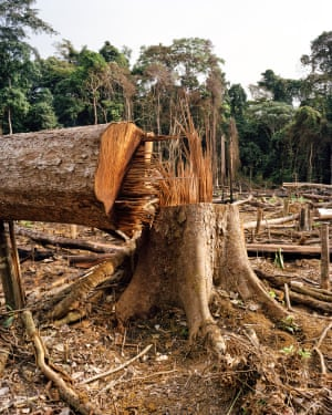 Trees are cleared to make way for a palm oil plantation. The Gabonese government wants to turn the country into Africa's largest producer of palm oil. Deforestation in Africa is believed to be a major factor in the cuckoo's decline.