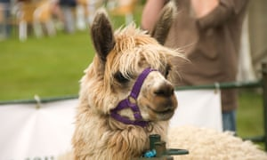 Alpacas at the Great Yorkshire Show.