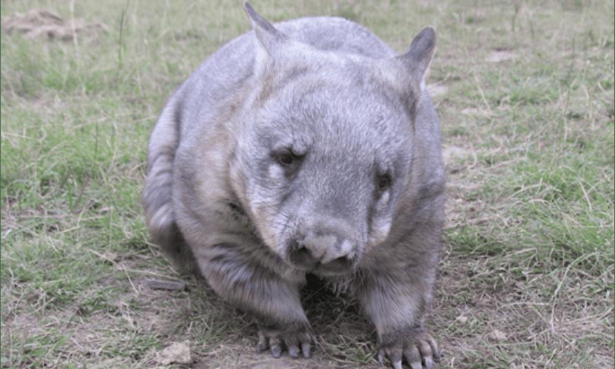Grotty the wombat