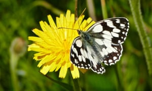 'Spectacular plant and insect life': a marbled white butterfly.