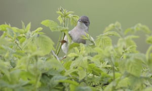 A common whitethroat foraging in bramble, West Yorkshire