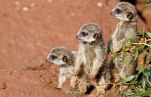 <strong>Leipzig, Germany</strong><br>Cute animal picture of the day: three young Meerkats explore their enclosure at the Zoo