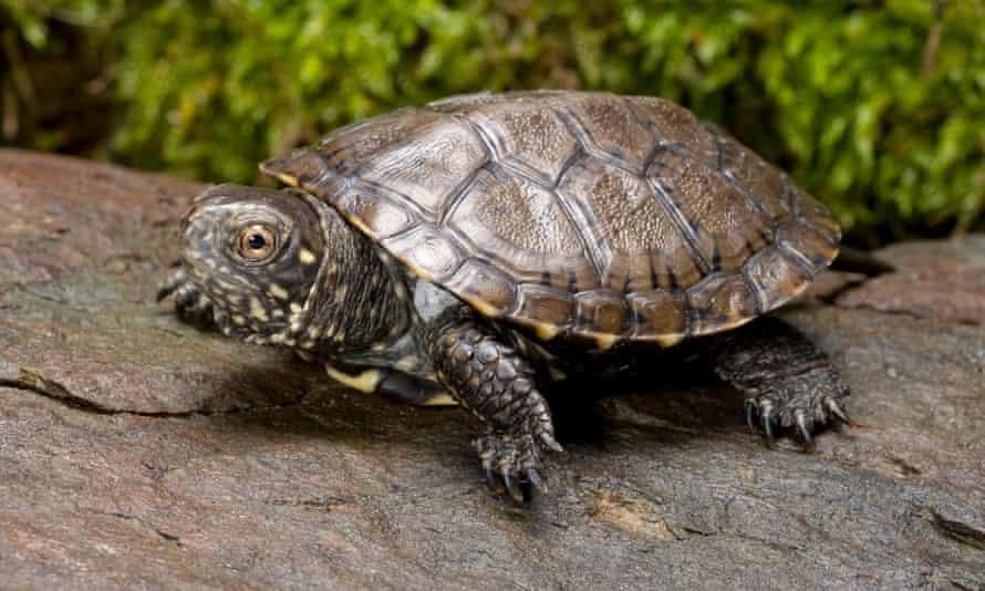 The European pond turtle