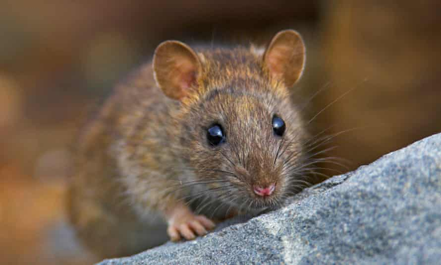 Many Albertans have never actually seen a rat.