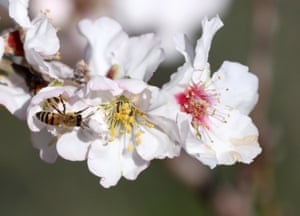 A bee sits on an almond blossom on a tree near the West Bank city of Jenin