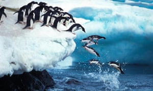 Adelie penguins leap into the sea at Paulet Island in Antarctica.
