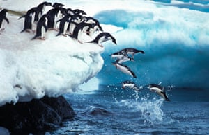 Adelie penguins leaping into the ocean, Paulet Island in Antarctica