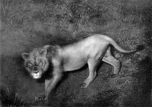 'Flashlight photograph of a maneless African lion'