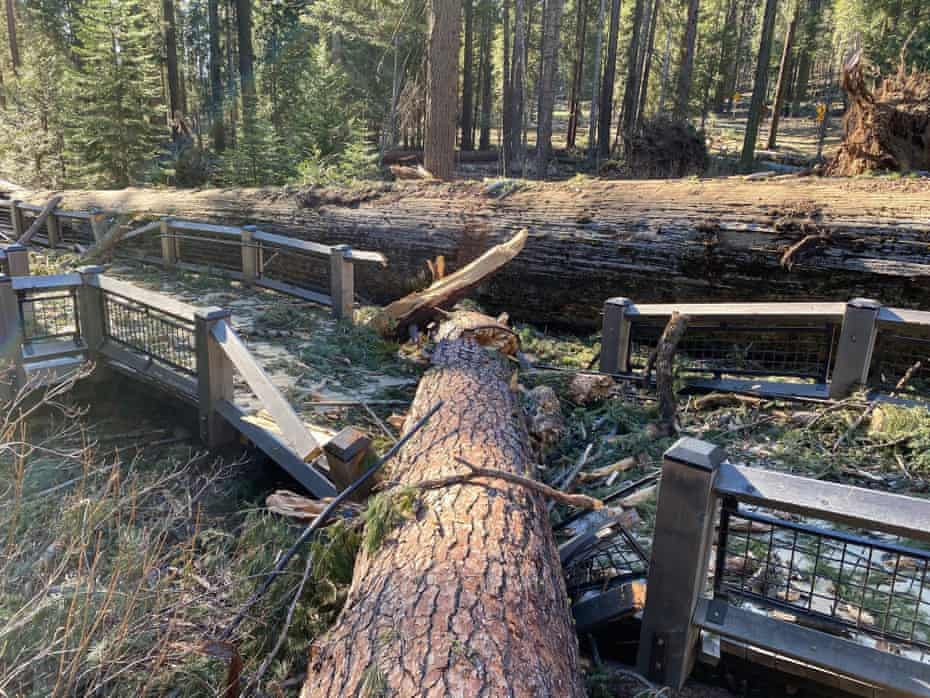 A boardwalk in the Mariposa Grove in Yosemite damaged by a fallen ponderosa pine during the Mono wind event on 19 January.