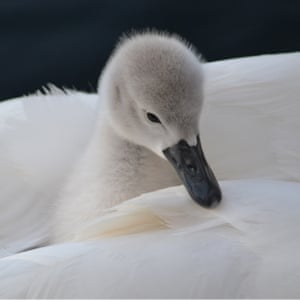 Young people's award under-12 years: Seren Waite (age 10), 'Cygnet with Swan', London, England.