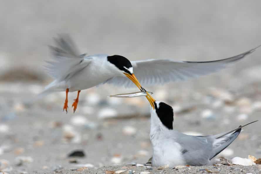 Little terns, one of Ireland's rarest breeding seabirds.