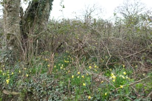 Wild daffodils light the under-storey of the roadside hedge.