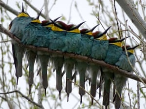 Blue-throated bee-eaters on a branch